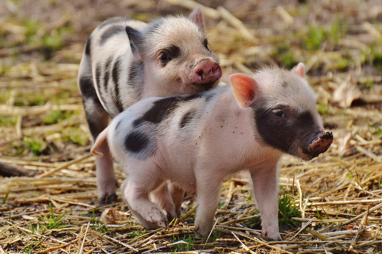 WIFI's overmand går gennem stål og beton og sikrer sunde svin